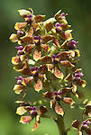 Orchid, Peru, tropical jungle, pink, brown and yellow.South America....