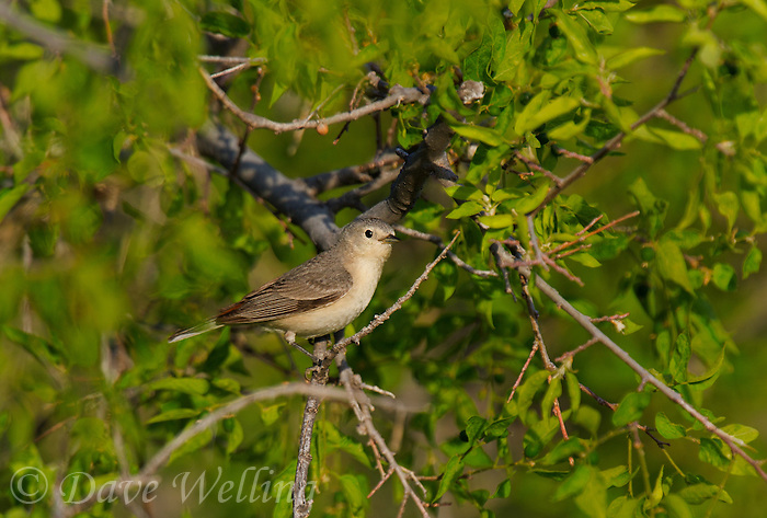 591990002 a wild lucy's warbler vermivora luciae perches in a mesquite bush in florida wash near madera canyon pima county arizona united states