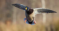 A Mallard duck comes in for a landing.