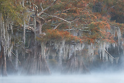Bald cypress in fall color peek through the mist on a cool autumn morning.