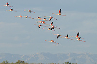 Greater Flamingos in flight (Phoenicopterus ruber), Camargue, France