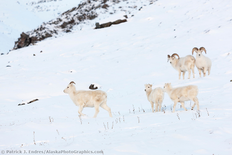 Dall sheep rams and ewes in the snow along the Brooks range mountains in Atigun canyon.