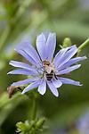 A honey bee on a hairless blue  sow thistle  ( cicerbita plumieri )