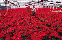 A nursery owner inspects pointsettia plants growing in a greenhouse. Oregon.