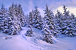 Pine trees covered in snow. Austria, Europe.