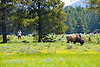 A tourist comes dangerously too close to an American Buffalo, or Bison grazing in a meadow, Yellowstone National Park, Wyoming
