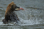 Brown bear fishing, Katmai National Park, Alaska, USA