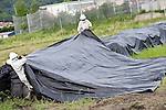 Members of an agricultural research team pulls covers  over topsoil removed from fields about 35 km from the leaking No.1 nuclear power plant in Iitate, Fukushima Prefecture, Japan on 31 Aug. 2011. Photograph: Robert Gilhooly