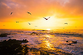 Gulls in flight at sunset, La Jolla, San Diego, California, USA, Pacific Ocean