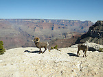 Bighorn Sheep, Desert, Grand Canyon, Arizona, ewe and ram
