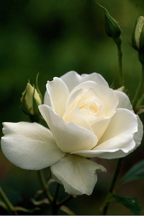 Intimate close-up of soft white Rosa 'Iceberg', Creekside Gardens, Roberts Creek, BC