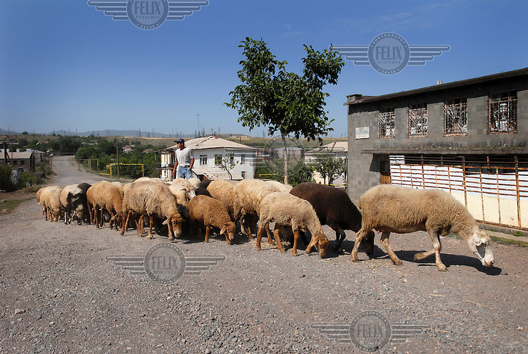 Shepherd with his sheep in a small farming settlement on a plateau atop the Vorotan Canyon.
