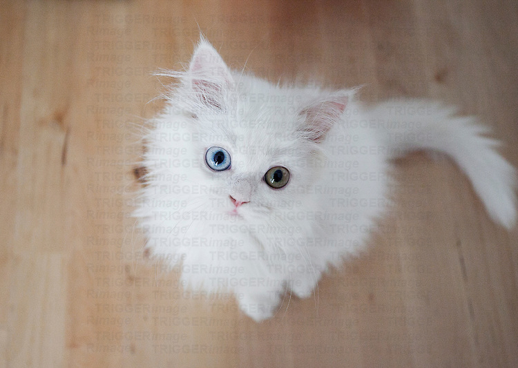 Small white kitten with different coloured eyes
