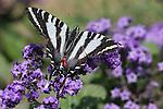Zebra swallowtail, Eurytides marcellus