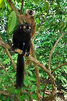 Black Lemur (Eulemur macaco macaco), male and female, Lokobe Nature Special Reserve, Nosy Be, Northern Madagascar