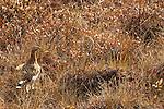 Willow grouse, Denali National Park, Alaska, USA