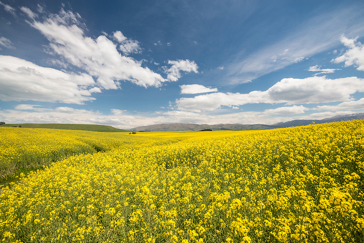 Bright yellow canola fields near Fairlie in South Canterbury, New Zealand