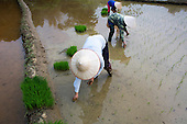 Workers in rice paddy, Sapa, Vietnam