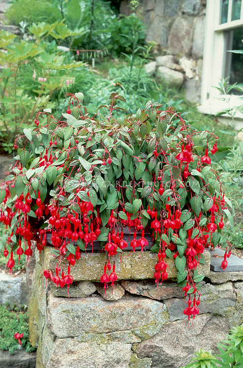 Potted fuchsia in red blooms plant flower stock photography - Flowers planted may complete garden ...