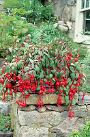 Fuchsia in pot container garden atop brick and cement wall, weeping hanging branches with red flowers
