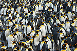 A king penguin colony at St. Andrews Bay on South Georgia.