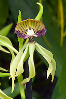 Encyclia cochleata cockleshell orchid in flower closeup