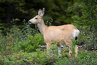 The Highline trail, Alberta and British Columbia, Canada, August 2008. A curious deer inspects our hiking party up close and personal. The Banff Highline trail can be hiked in 7 days and runs through Banff National park as well as Assiniboine Provincial park. Photo by Frits Meyst/Adventure4ever.com