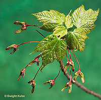 MP03-011d  Red Maple Leaves and developing seeds - Acer rubrum