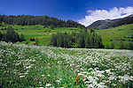 Alpine  spring flowers and grass in Alpine meadow, Nauders, Austrian, Italian border.