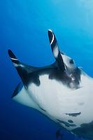 QT2307-D. Manta Ray (Manta birostris). Baja, Mexico, Pacific Ocean.<br /> Photo Copyright &copy; Brandon Cole. All rights reserved worldwide.  www.brandoncole.com