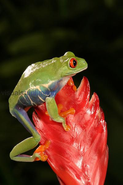 Red Eyed Tree Frog ,Agalychris callidryas,