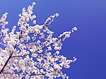 Cherry blossom over blue sky background. Blooming Japanese cherry tree branches.
