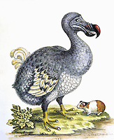 Dodo Bird (Raphus cucullatus), an extinct bird.