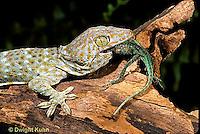 GK09-006z  Tokay Gecko - eating lizard  prey -  Gekko gecko