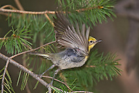 592190009 a wild male olive warbler peucedramus taeniatus flies from a douglas firtree on mount lemmon tucson arizona united states