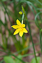 Wild jonquil (Narcissus jonquilla var. henriquesii), mid March.