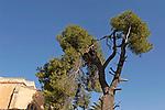 T-005 Aleppo Pine in Jerusalem
