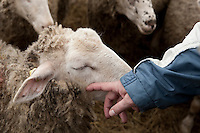 A farmer pets a sheep at Ferme Eboulmontaise farm in the Charlevoix city of Les Éboulements, Qc. Charlevoix lambs are the first food product in North America to be legally protected based on its region of origin.