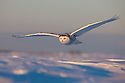 Snowy owl flying over snow field, Canada