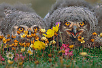 A pair of gray-feathered snowy owlets hunker down in the adundant flowers that flourish in the dropping-enriched soil of their nest mound.