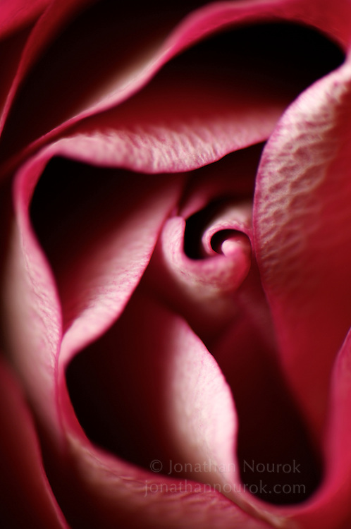 An extreme close-up of a pink and white rose flower.