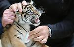 Foto: VidiPhoto<br /> <br /> ARNHEM &ndash; De pasgeboren tijgertweeling van Burgers&rsquo; Zoo in Arnhem heeft vrijdag een complete medische controle ondergaan. De diertjes werden gechipt, ge&euml;nt en gesekst.Op de borst van een van de welpjes werd een likwond van moeder behandeld. De welpjes zijn beide vrouwtjes. En dat is gunstig voor het fokprogramma van de ernstig bedreigde Sumatraanse tijgers. In het wild leven nog maar enkele honderden exemplaren. In Azi&euml; geloven mensen dat lichaamsdelen van de tijger een geneeskrachtige werking hebben. De geboorte van de tijgertjes in Burgers Zoo was eind augustus via livestream in het kraamverblijf te volgen. Het filmpje is inmiddels door ruim 150.000 mensen bekeken.