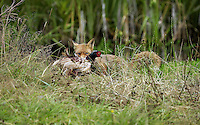 Red Fox (Vulpes vulpes) with Common Pheasant prey (Phasianus colchicus), Normandy, France.