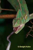 CH51-554z  Female Veiled Chameleon tongue flicking at prey, Chamaeleo calyptratus