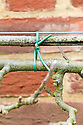 Horizontal arm of an espaliered apple tree tied in to a supporting cane and wire with soft plastic twine.