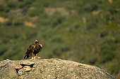 Golden Eagle (Aquila chrysaetos), Castilla y Leon, Spain