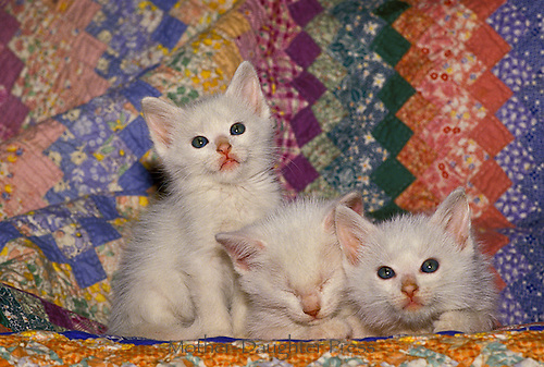 Three white kittens, litter-mates- cuddle on a quilt