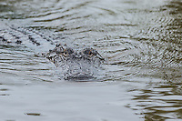 I think your heart would skip a beat if you were not in the boat.  This was a good size aligator coming straight at the boat.  He was on a mission and it was not for a photo opt.