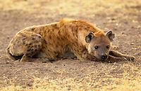 Spotted Hyena resting, Grumeti, Tanzania