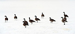 SOUTHBURY, CT-122713JS06-FOR COUNTRY LIFE--Canadien geese make their way across a patch of ice on Gravel Pond in Southbury on Friday.  <br /> Jim Shannon Republican-American